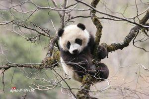 """""""快吃快拉""""的大熊猫为什么成为稀世珍宝"""